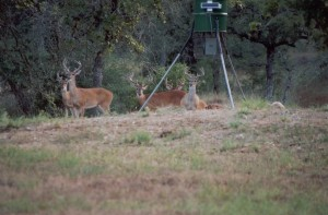 Bucks in velvet at feeder; Photo Courtesy of C.Stevenson, date unknown.