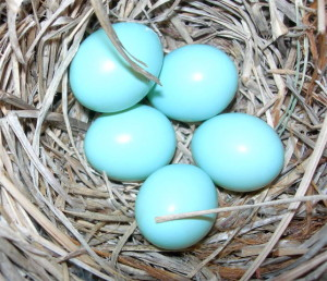 This is a picture of bluebird eggs,