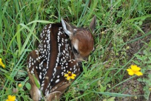 Whitetail Fawn still wet from birth; Photo by B.LaVergne, Spring 2007.