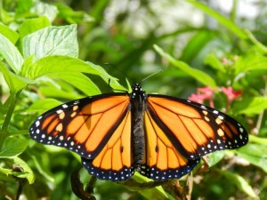 New Hatched Monarch Butterfly; Photo by Donna Burrows, May 2013