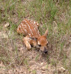 Young Fawn, May 8, 2013; Photo by Douglas Mason