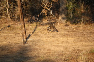 Common Raccoon at Deer Feeder; Photo by Gary LaVergne_2012
