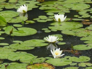 Water Lilies; Photo by Donna Burrows, May 2013