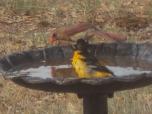 "Baltimore Oriole ""Sun-bathing"" with his Northern Cardinal friend; Photo by Earl & Maria Fly, June 2013"