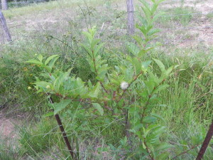 Buttonbush_DBurrows_June2013