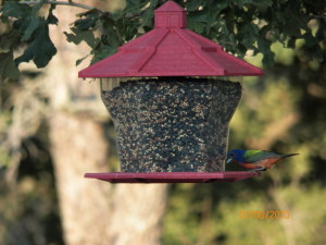 """Love, love, love this stuff!""   Painted Bunting, Photo by B.Mitchem, July 2013"