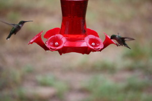 We have two feeders and are seeing approximately a dozen Hummingbirds at each feeder. Photo by B.LaVergne, 08-27-2013.