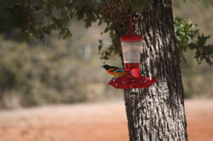 Baltimore Oriole at Hummingbird Feeder; Photo by B.LaVergne, May 2012.