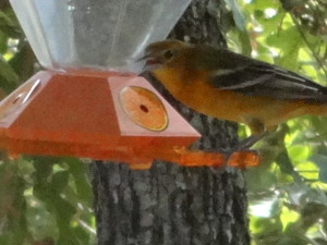 Baltimore Oriole at Oriole Feeder; Photo by P.Vretis, Sept.2013.