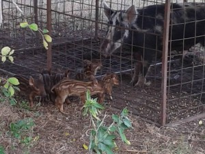 Trapped feral sow with piglets at Oakridge; Photo by D.Mason, Sept 1, 2013