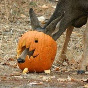 Deer stuck in a Jack-o-Lantern; Photo by of D.Konarik.