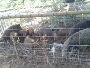 Eleven hogs in one trap on Deer Field Court; Photo by D.Mason, 10-29-2013.