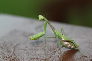 "Mantis in ""Prayer""; Photo by B.LaVergne, 09-22-2013."