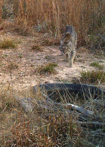 Bobcat walking to water; Photo Courtesy of D.Burrows, February 2013.