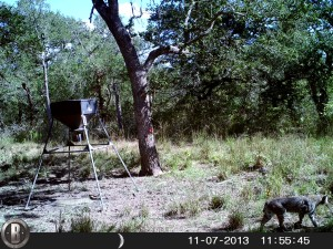 Bobcat at Deer Feeder off Trails End; Photographer Unknown, 11-07-2013.