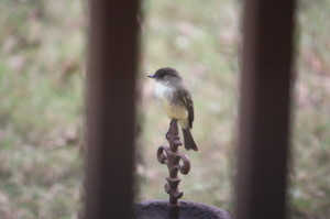 Eastern Phoebe scoping out the area for insects from his perch on a Fleur-de-lis; Photo by B.LaVergne, 11-09-2013.