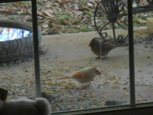 Albino Northern Cardinal; Photo provided by cousin of D.Mitchem, Dec 2013.