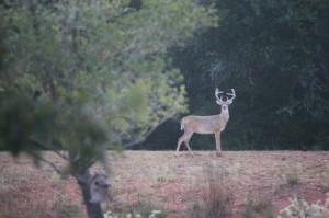 Old buck came for breakfast; Photo by B.LaVergne, Aug 2014.