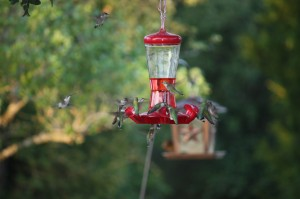 Hungry Hummingbirds sharing ports; Photo by B.LaVergne, Sept 2014.