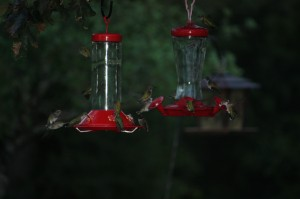Hummingbirds in the Rain; Photo by B.LaVergne, Sept 2014.