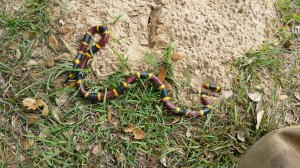 Easter Coral Snake; Photo by B.LaVergne, Nov 19, 2010.