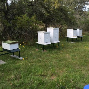 Bee hives at Oakridge Ranch, Photo by Jack Jetton, Spring 2015