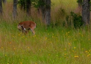Doe with new Fawn, Photo by J.D. Ray, May 2015
