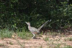 Greater Roadrunner, July 2017, Photo by B.LaVergne